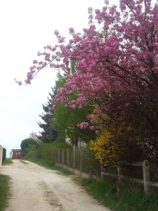 Le cerisier fleurs du voisin surplombant l'entrée du chemin de Nanie.