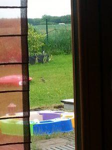 un pivert dans le jardin ! Il revient chaque année et se plaît à picorer dans les gros poirier d'à côté !!