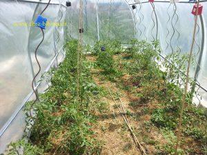 chaleur tropicale pour les tomates...20°C le matin à 32°C...