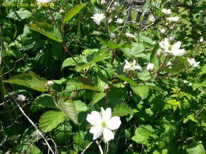 fleurs de mûres
