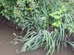 quelques iris d'eau au bord de la Drouette, devant le pont ...