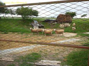 les moutons de la petite ferme